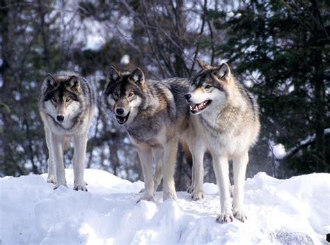 im 225 genes de un lobo gris im 225 genes y fotos redoble de tambores efecto despues de chiste taringa