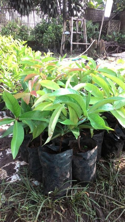 Bibit Tanaman Jambu Kancing jual beli bibit jambu bol jamaica baru aneka bibit tanaman berkualitas