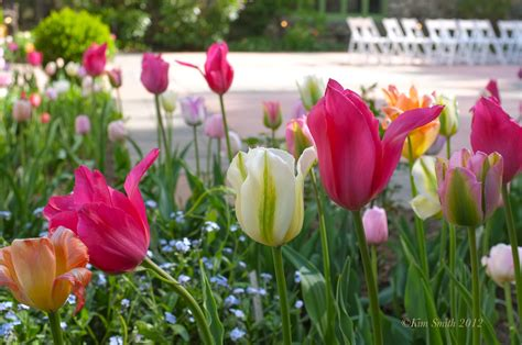 tulips kim smith designs
