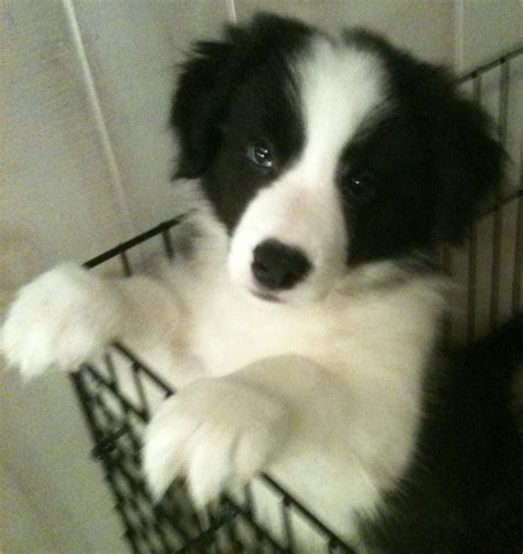border collie puppies for sale in wisconsin the gallery for gt mini collie