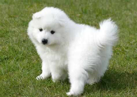 spitz puppies for sale japanese spitz puppies pets for sale pets for sale
