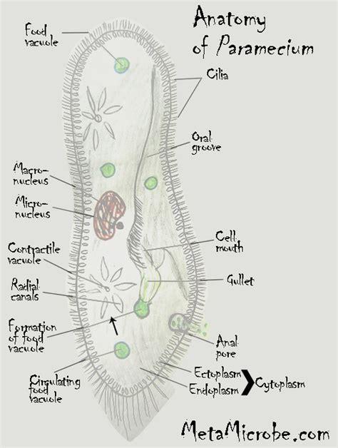 diagram of paramecium paramecium tetraurelia model organism taxonomy facts