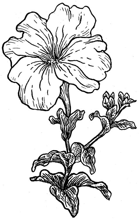 petunia drawing google search 花 pinterest petunias
