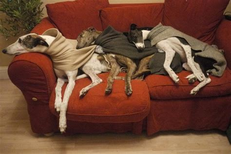 Couch Potatoes Greyhounds Pinterest