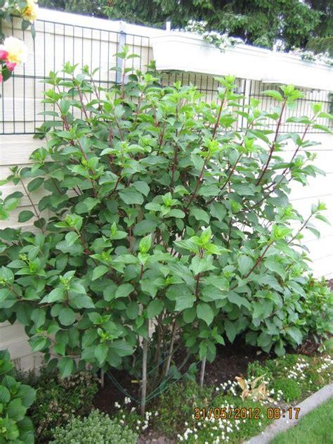 Freiland Hortensie Vanille Fraise 1625 by Rispenhortensie Vanille Fraise 174 Hydrangea Paniculata