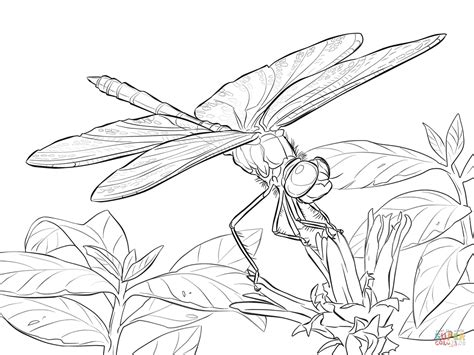 yellow winged darter dragonfly coloring page free