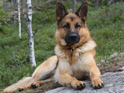 pictures of german shepherds german shepherd wallpapers animals