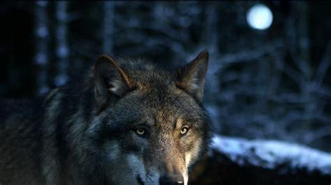 imagenes de lobos en 4k lobo alfa 1920x1080 fondos de pantalla y wallpapers