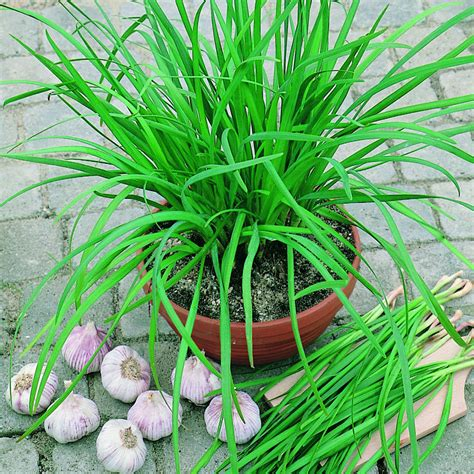 geisha garlic chives seeds  park seed