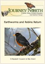 american robin migration update journey north news