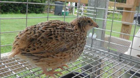 Backyard Quail Quail Backyard Chickens Community