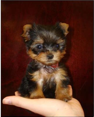 teacup terrier puppies characteristics of teacup yorkies dummies