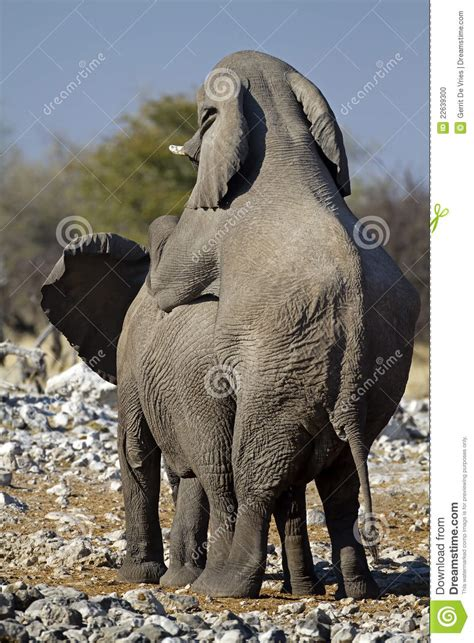 mating video of african people two young african elephants mating stock photo image