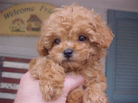 miniature puppies gallery brown mini poodle puppies
