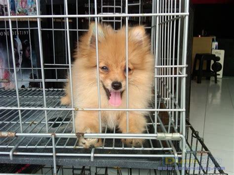 Anjing Minipom Stambum dunia anjing jual anjing pomeranian pupies minipom betina