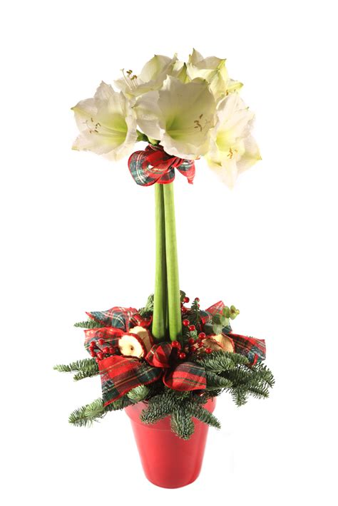Christmas Centerpiece Arrangements - amaryllis a dazzling display of indoor color during the winter extension daily