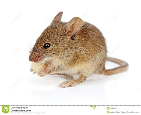 Little House Plans Free house mouse eating cheese mus musculus royalty free