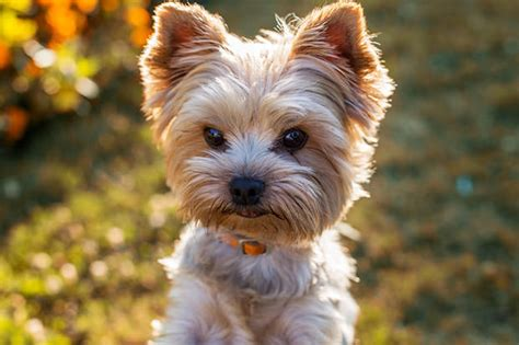10 year yorkie behavior 21 great dogs for your golden years show page 10