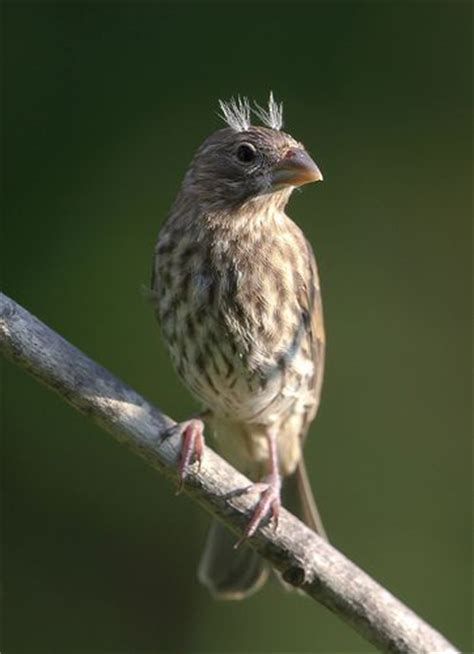 fledgling house finch a fledgling house finch o meu aves 2 pinterest