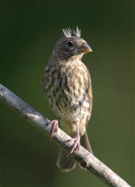 a fledgling house finch o meu aves 2 pinterest