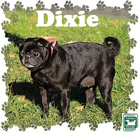 pug rescue md fallston md pug mix meet dixie a for adoption