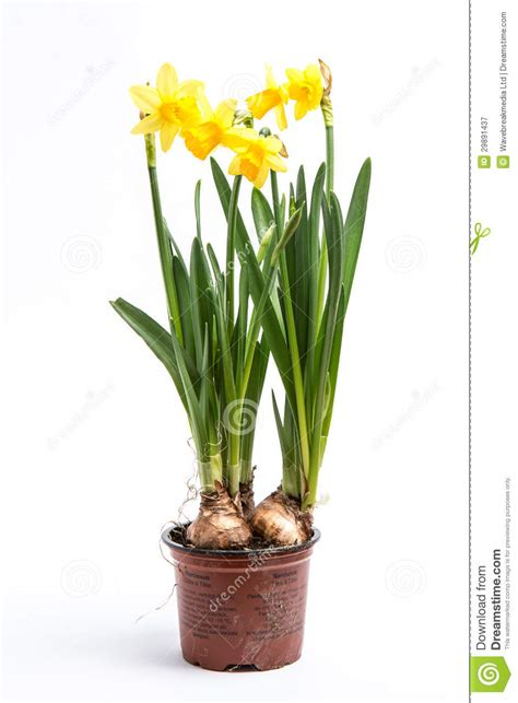 daffodils growing from bulbs in a pot royalty free stock