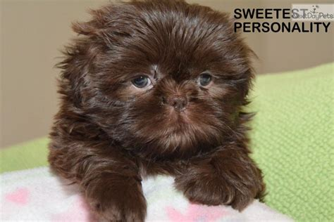 liver brown shih tzu shih tzu puppy for sale near arizona 3b6b0e4e f0f1