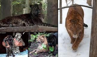 Jaguar And Tiger Hybrid Hybrid Animals And Global Warming