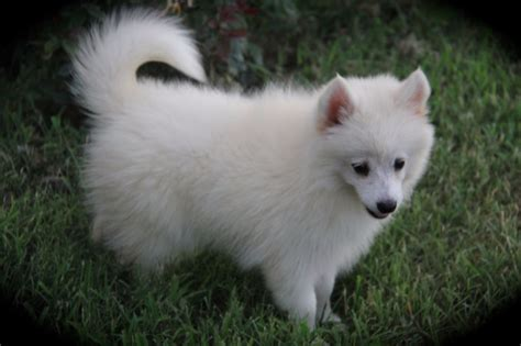 pomeranian puppies iowa pomsky pomeranian and siberian husky side by side comparison pomsky pup