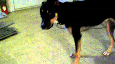scary rottweiler pitbull rottweiler mix 1