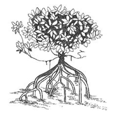 mangrove tree coloring page red mangrove coloring coloring pages