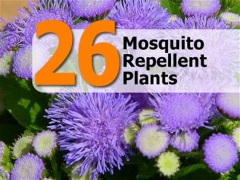 26 mosquito repellent plants pest control pinterest we backyards and mosquitoes