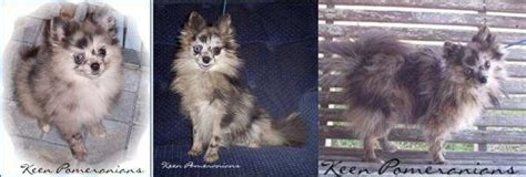 pomeranian before and after petpom pomeranian shedding