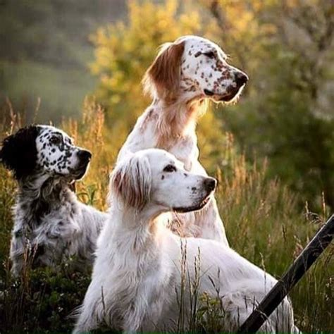 female english setter dog names best 25 english setters ideas on pinterest english