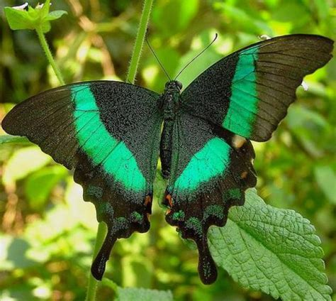 imagenes mariposas raras lista las 12 mariposas m 225 s lindas e impresionantes del mundo