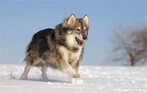 Utonagan dog breed 187 information pictures amp more