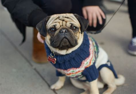 pug rescue ottawa and sons and pugs oh my the fulcrum