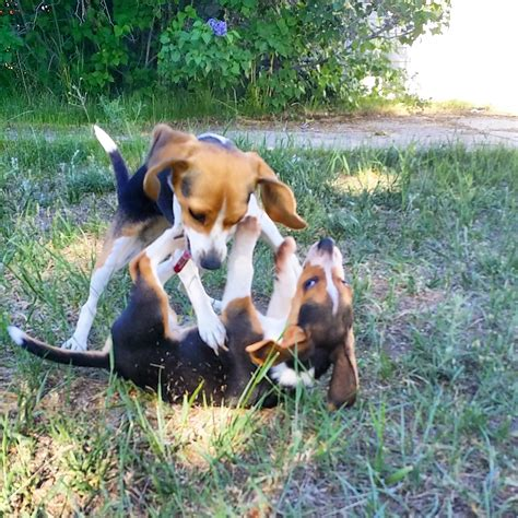 beagle puppies for sale in sc beagle puppies available now for sale breeds picture