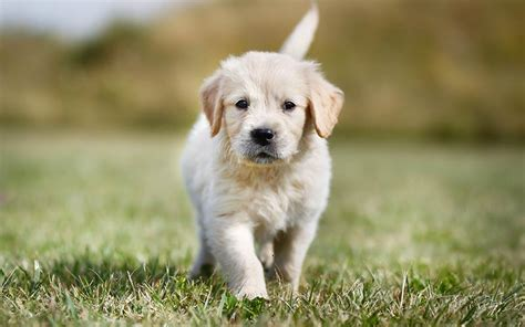 golden retriever knee problems the most popular akc breeds for 2017 the happy puppy site
