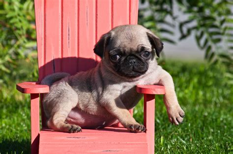 where can i find a pug puppy image gallery pug puppies