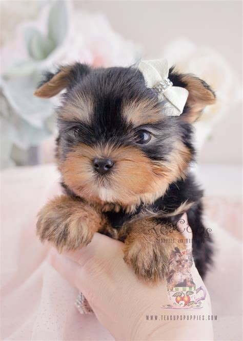 breed yorkies for sale teacup yorkie puppies for sale at teacups in south florida teacups puppies boutique