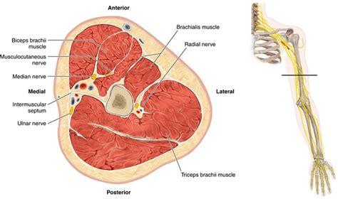 cross section of arm radial nerve neupsy key