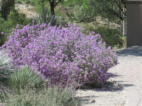 purple flowering bush purple plants tjs garden