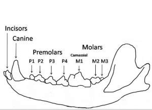 how do dogs teeth how do dogs use teeth daily discoveries