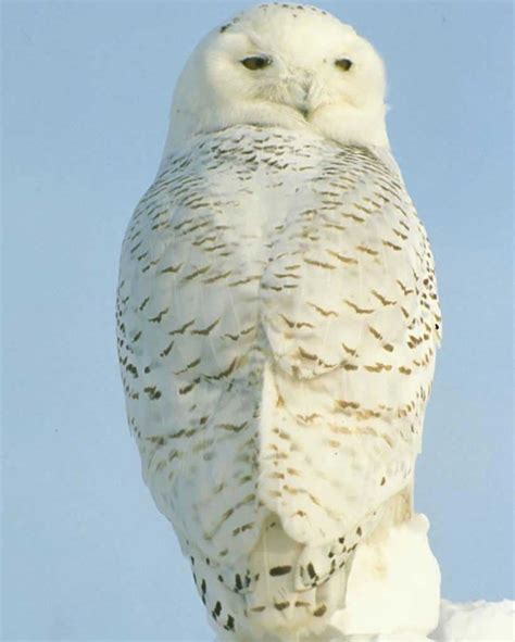 White Owl L Base by Snowy Owl Audubon Field Guide