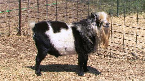 Goat Home Decor by Nigerian Dwarf Goat Pin Nest