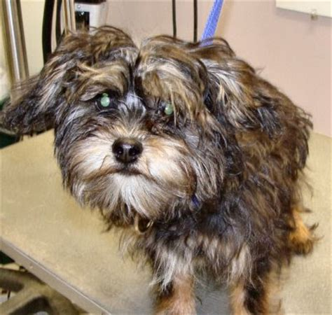 yorkie schnauzer cut schnauzer cut on yorkie yorkie schnauzer mix looks so like my maggie schnorkies