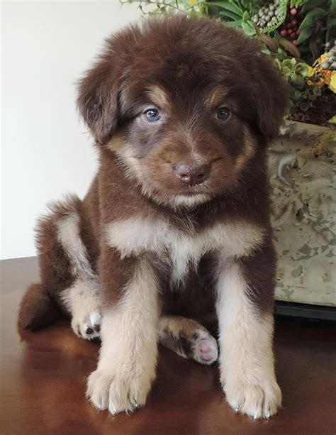 collie doodle puppies for sale 1000 ideas about collie puppies for sale on