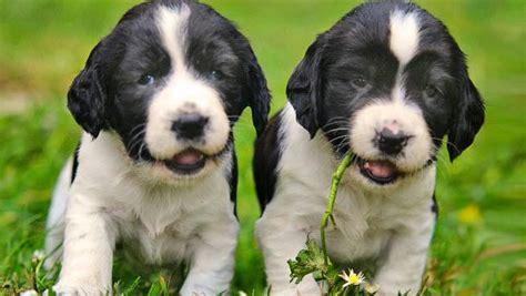 gun puppy gun absolute gun dogs
