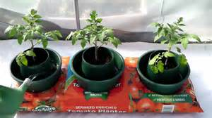 sow along planting tomatoes in a grow bag week 9 youtube